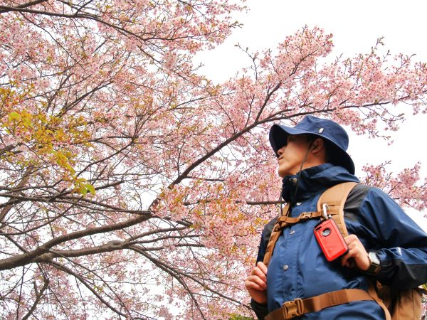 箱根・風祭では一足早い河津桜が咲いています!